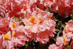 Rhododendron 'Strawberry Ice'