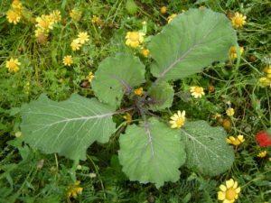 Brassica oleraceae