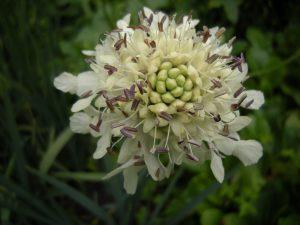 Cephalaria procera