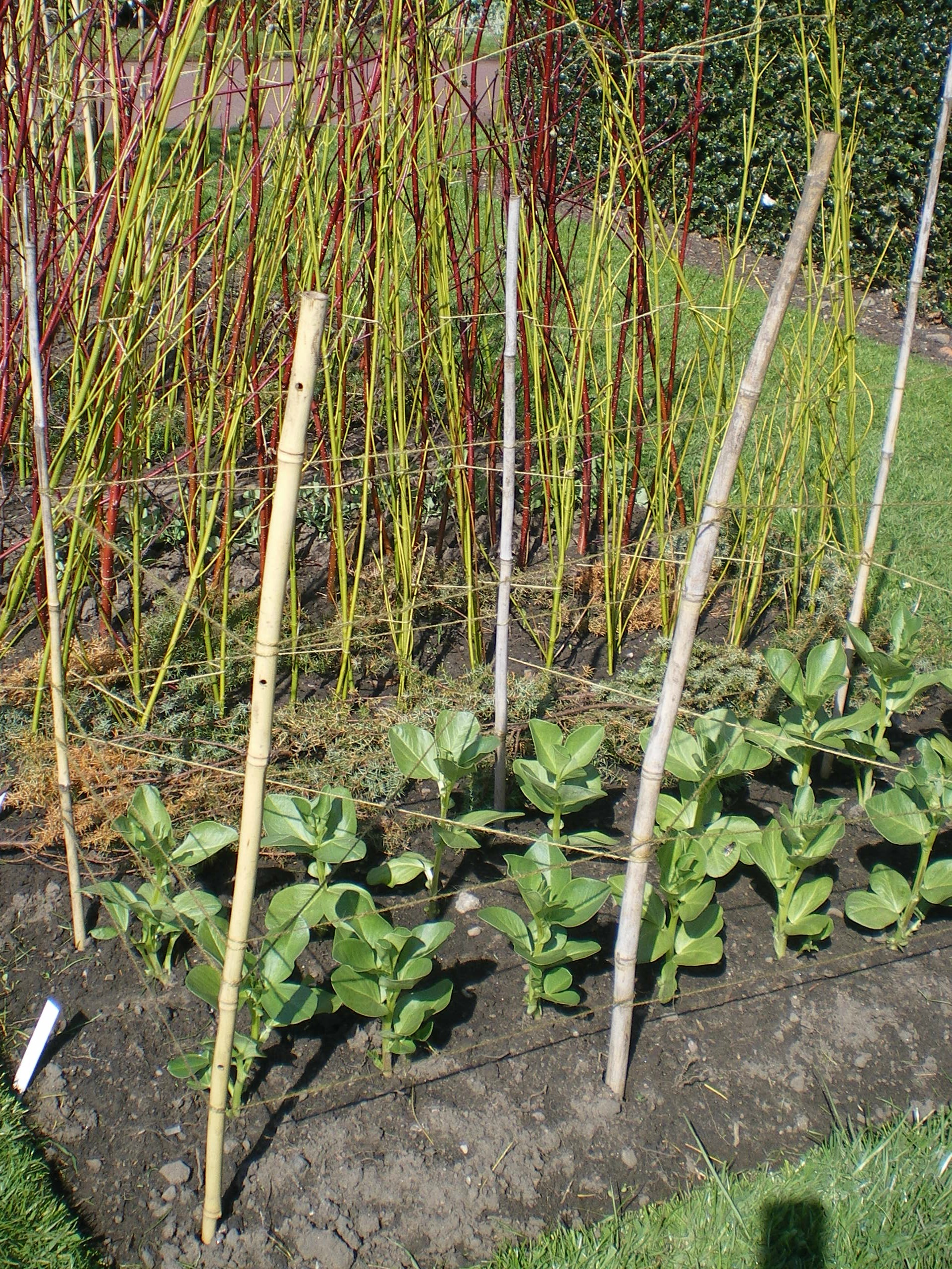 Beans Plant Images Image Broad Bean Stakes