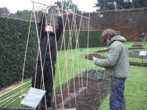 Erecting runner bean poles