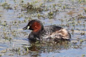 A Dabchick (Photo: Andy Vernon)