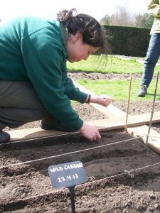 Kate sowing the wild cabbage at the Botanics