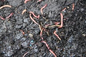 Our worms  Photo: Brenda White