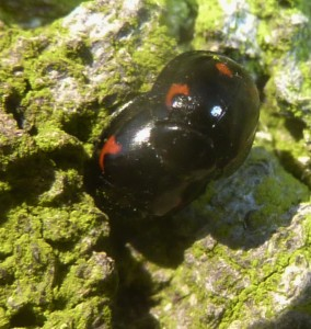 Pine Ladybirds on beech bark