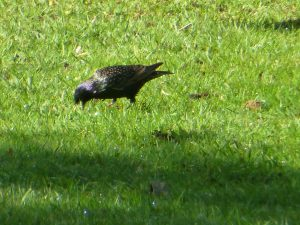 Starling feeding on lawn, Botanics, 17 May 2013