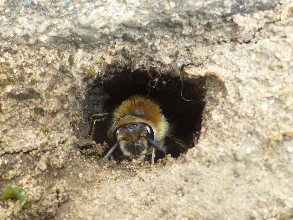 Andrena aff. barbilabris emerging from nest hole in Alpine Courtyard, 21 May 2013