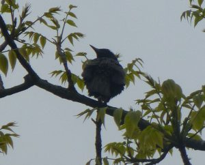 One of two Starlings in tree near Pond, 29 May 2013