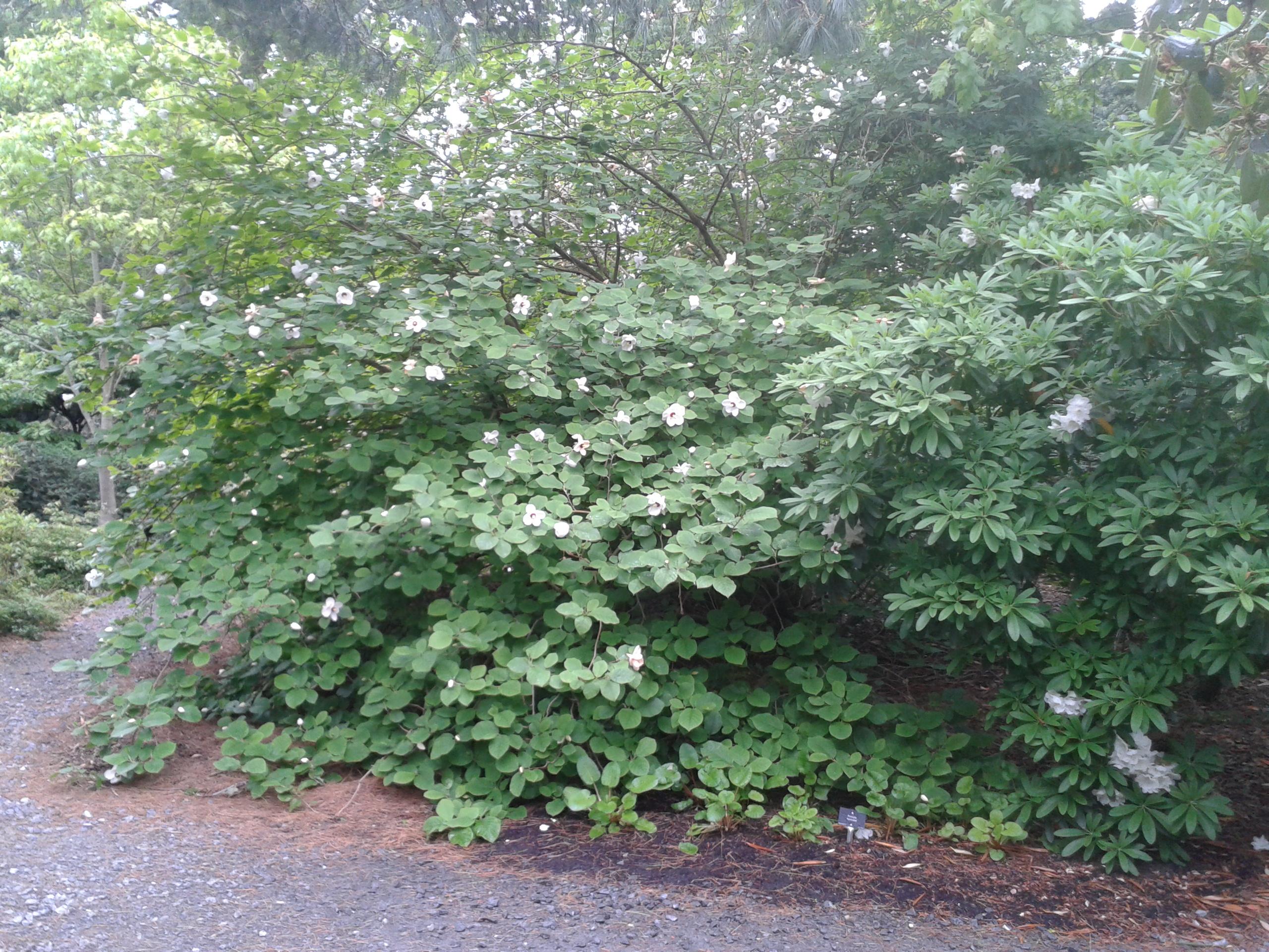 Magnolia sieboldii ssp. sinensis – Botanics Stories
