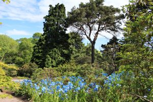 The Scots Pine covered in a blue sea of Meconopsis Slieve Donard
