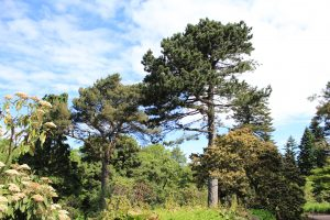 Scots Pine and Black Pine trees