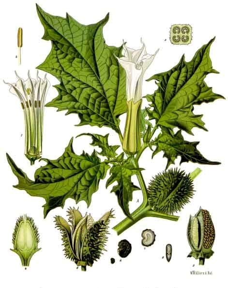 Datura stramonium, from Franz Eugen Köhler's Medizinal-Pflanzen