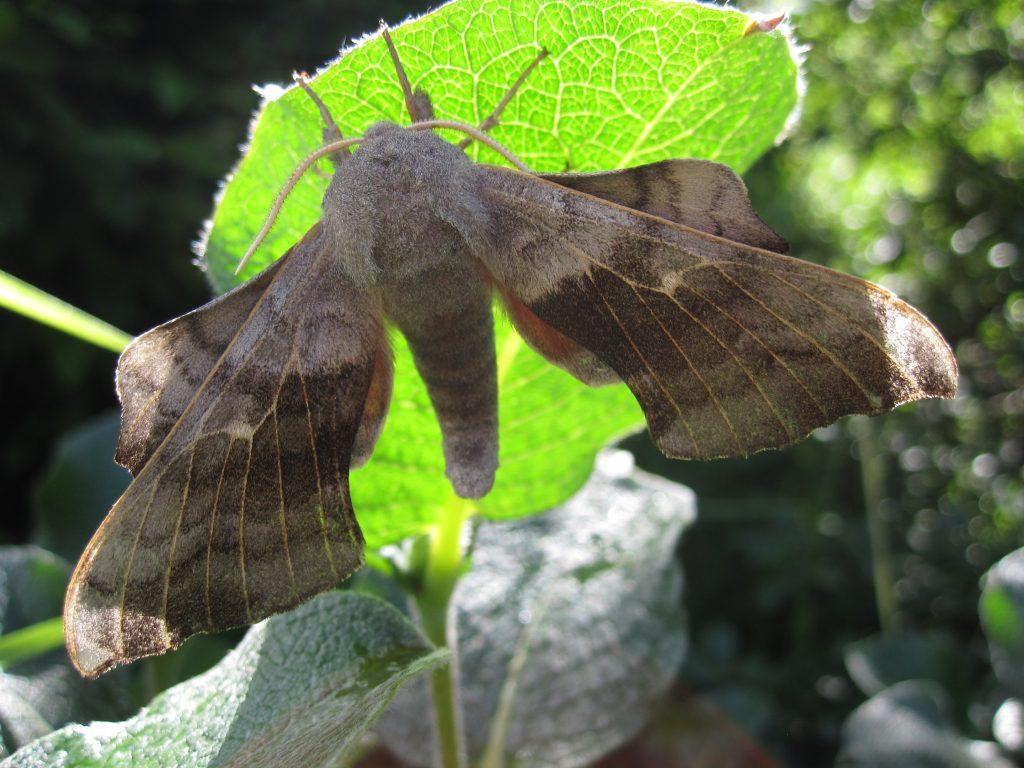 Poplar hawk moth caught during BioBlitz