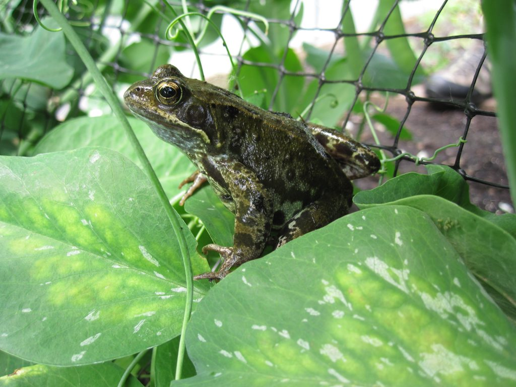Resident frog in the Edible Gardening Project poly tunnel