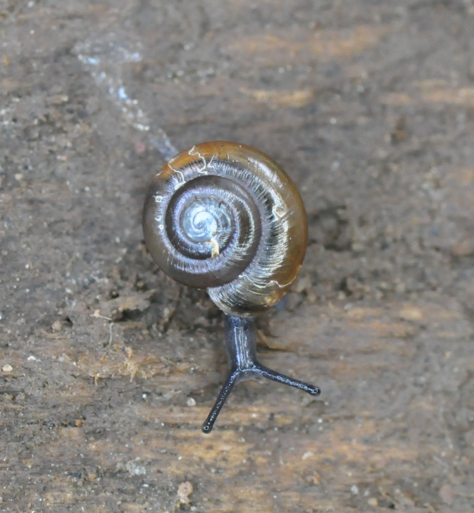 Alien snail, Zonitoides arboreus, found at RBGE during the BioBlitz on 21st June