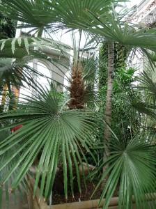 Stone gate palm Trachycarpus princeps
