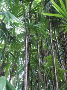 Slender lady palm Raphis humilis