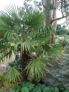 Chusan palm Trachycarpus fortune