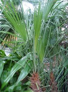 European fan palm Chamaerops humilis