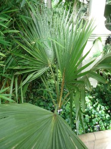 Dwarf palmetto Sabal minor