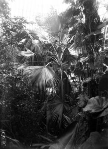 Image of the Sabal umbraculifera probably taken between 1902-1906. When it was finally planted into the ground. Photographer: D.S.FIsh Image: Royal Botanic Garden Edinburgh
