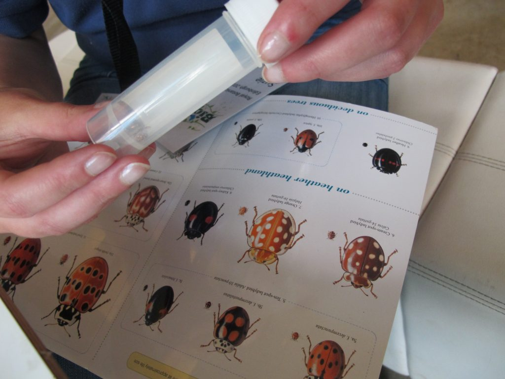 Identifying a ladybird at BioBlitz