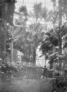 Image of the Sabal taken in 1874 after its move and 'retubbing' by James McNab and his team. Photographer: ? Image: Archive of the Royal Botanic Garden Edinburgh