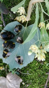 Dead bumble bees below silver lime, Tilia tomentosa