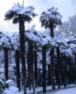 Snow covered palms at Logan Botanic Garden, southwest Scotland