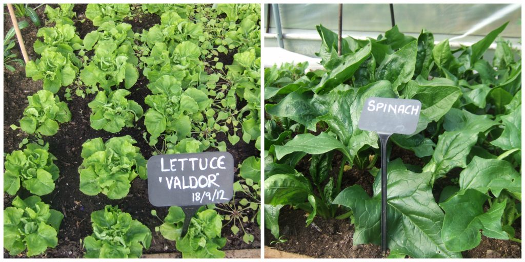 winter lettuce, winter spinach