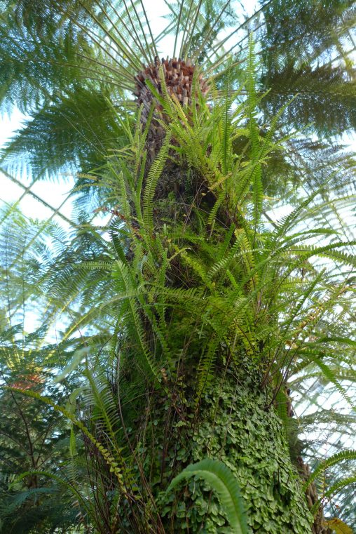 Ferns and liverworts growing on the trunk of Dicksonia antartica