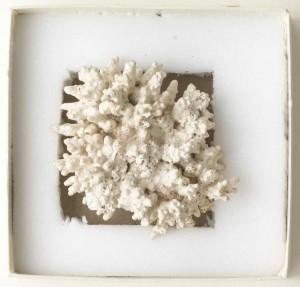 Phymatolithon calcareum