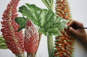 Botanical painting of Gunera tinctoria.