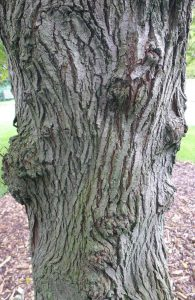 Elm Trunk. Photo by Robyn Drinkwater