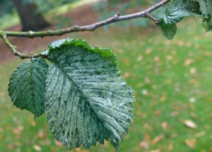 Elm Leaf. Photo by Robyn Drinkwater
