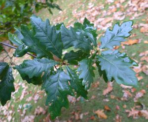 Oak Leaves. Photo by Robyn Drinkwater