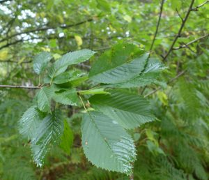 Gean Leaves. Photo by Robyn Drinkwater