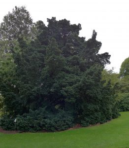 Yew Tree. Photo by Robyn Drinkwater