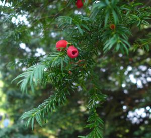 Yew Berries. Photo by Robyn Drinkwater