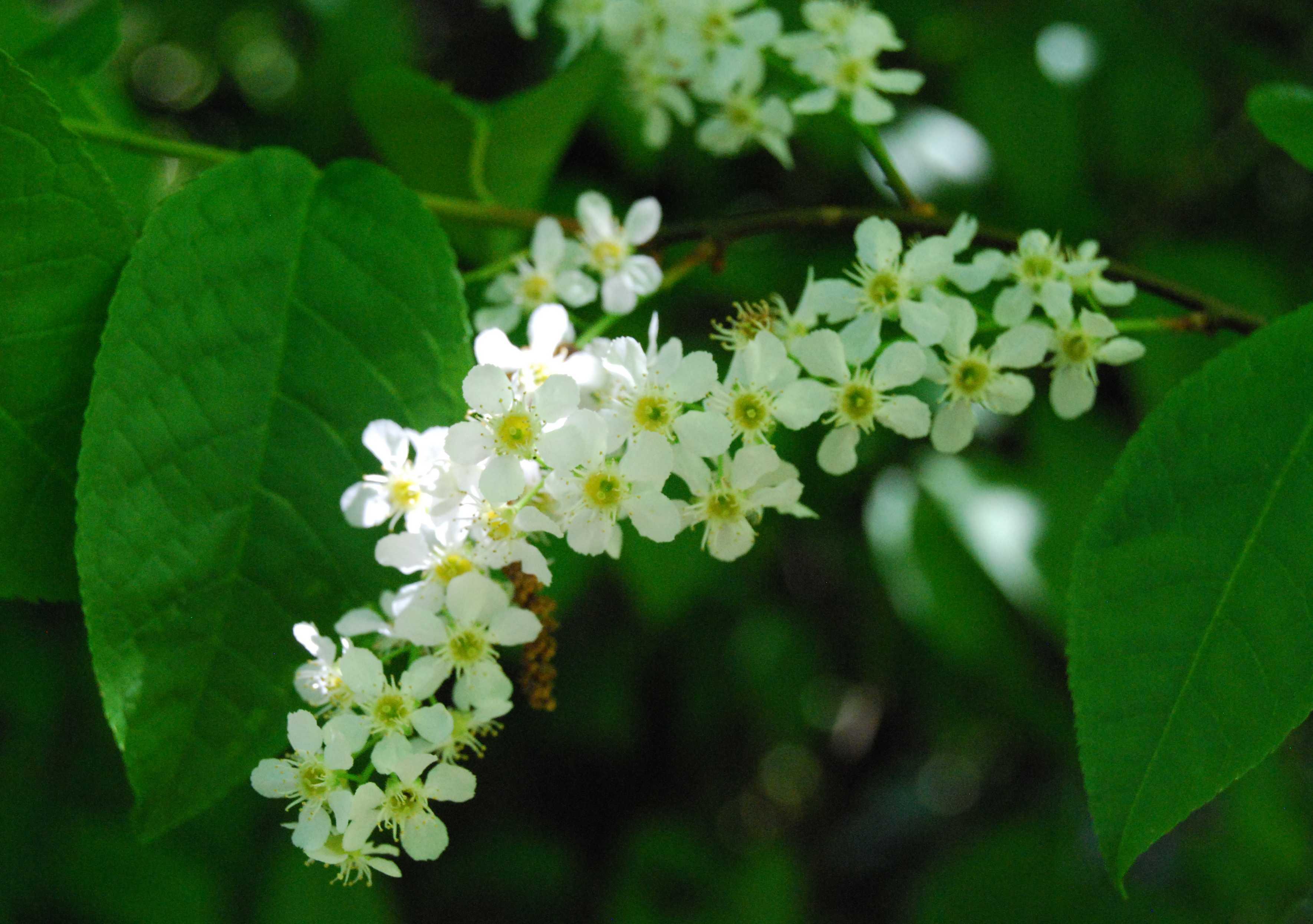 Native Trees Trail Bird Cherry Botanics Stories