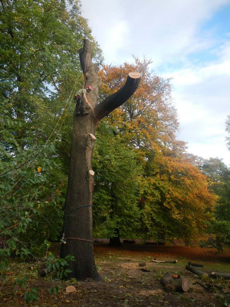 Sweet chestnut being taken down as a result of disease.