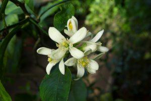 Citrus limonia 'Myer's Lemon'
