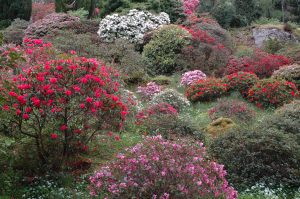 Hillside Rhododendrons