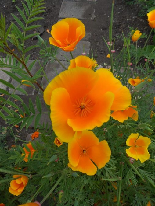Eschscholzia californica. Photo by Tony Garn