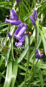The spring-flowering woodland Bluebell Hyacinthoides non-scripta