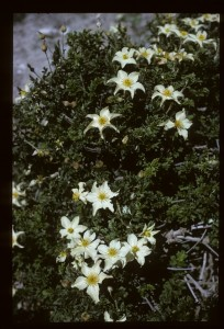 Clematis phlebantha. 6 June 1963. Photograph Adam Stainton.
