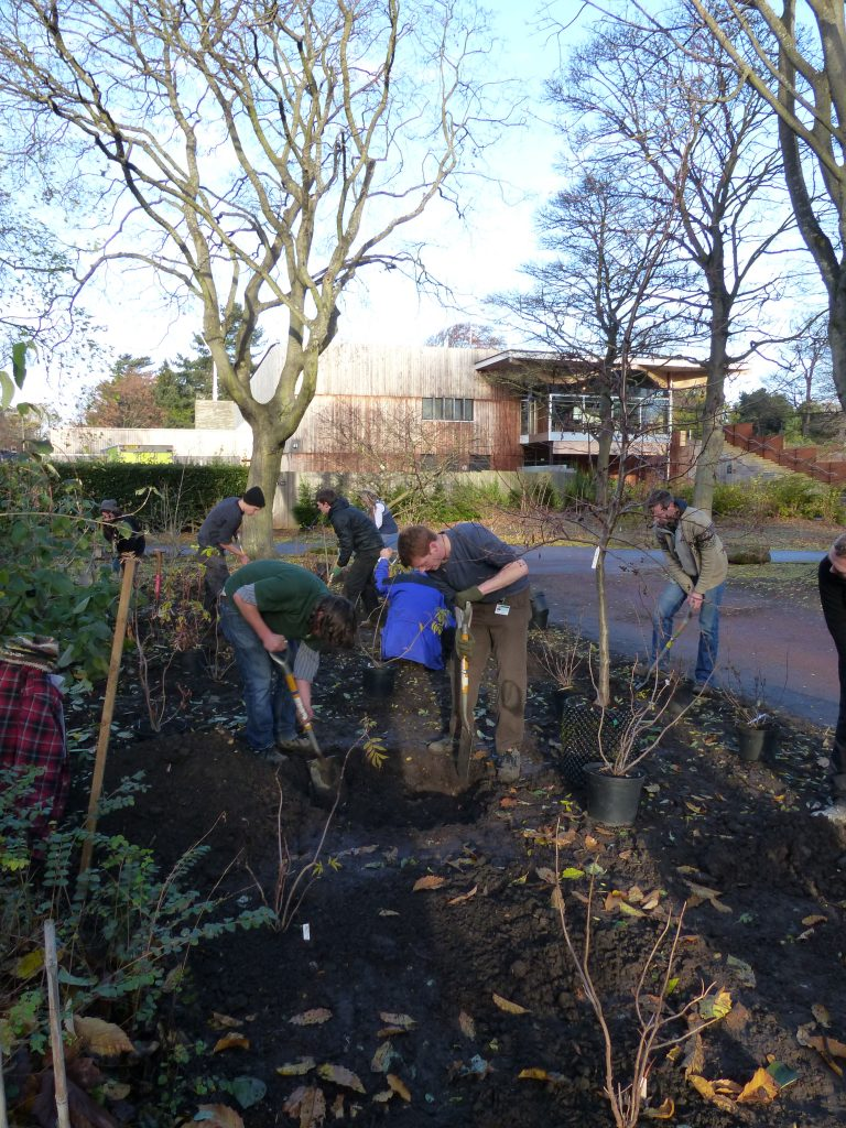 Digging a planting pit for the Alnus incana ssp rugosa