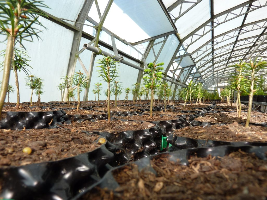 Conifer cultivation