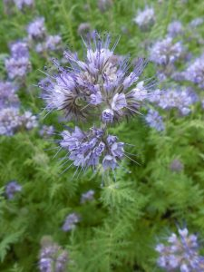 Phacelia tanacetifolia. photo by Tony Garn