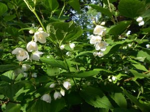 Philadelphus schrenkii. Photo by Tony Garn